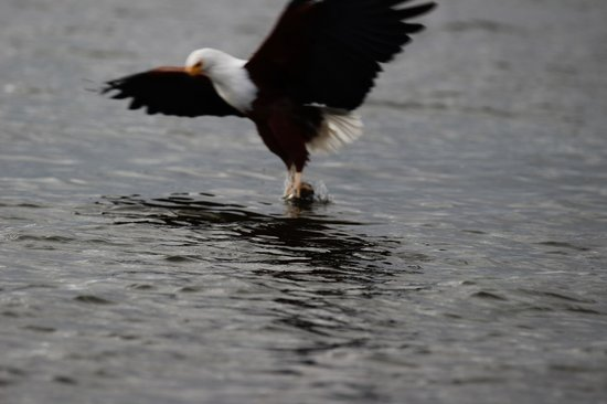 Enashipai Resort & Spa: Fish Eagle on Lake Naivasha