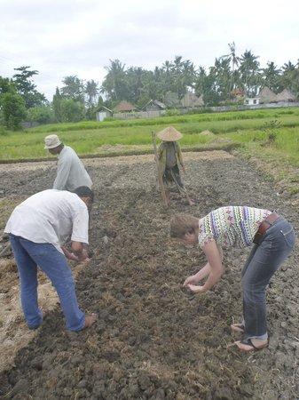 Bali Homestay Cepaka: Planting peanuts