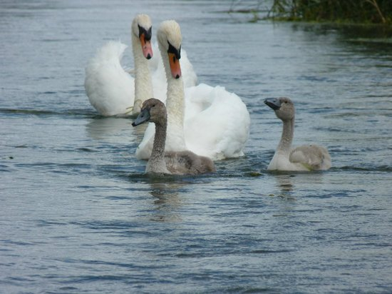 Wicken Fen National Nature Reserve: resident swans.  were 5 cygnets until irresponsible dog owners let their dogs kill 3 ;-(