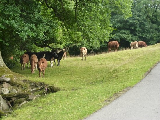 Bradley Burn Cottages: Resident cattle