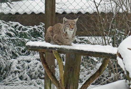 Heimat-Tierpark Olderdissen: Luchs
