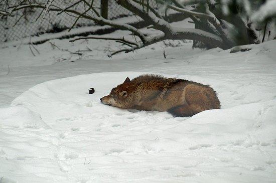 Heimat-Tierpark Olderdissen: Wolf