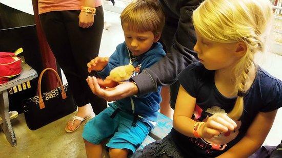 Cotswold Farm Park: The grandchildren handle the chicks but aren't too sure!