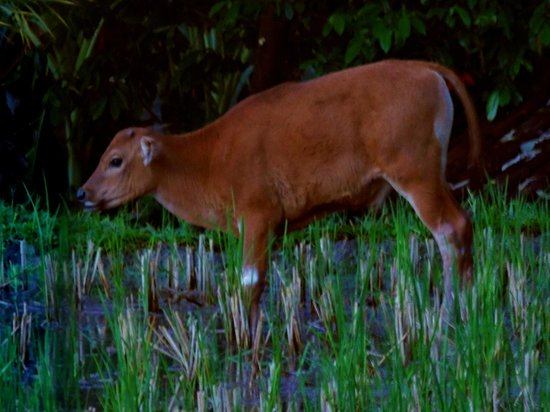 Ubud Lestari Bungalows: Frequent visitor at sunset...