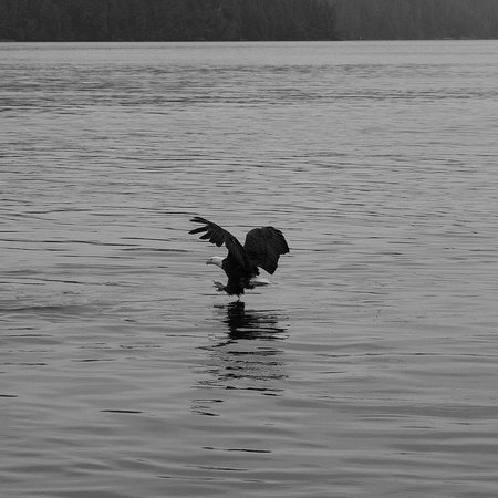 Clayoquot Wilderness Resort: An eagle casual diving for a fish I had caught a few minutes earlier