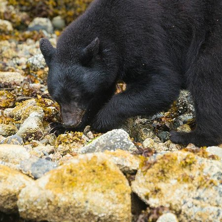 Clayoquot Wilderness Resort: A freindly bear...