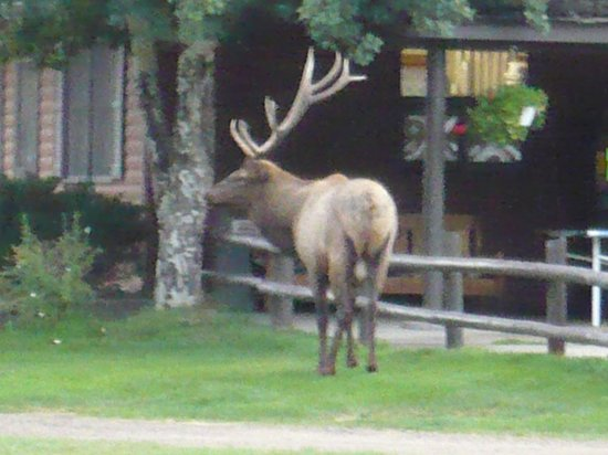 Glacier Lodge: Elk at the Soda Saloon