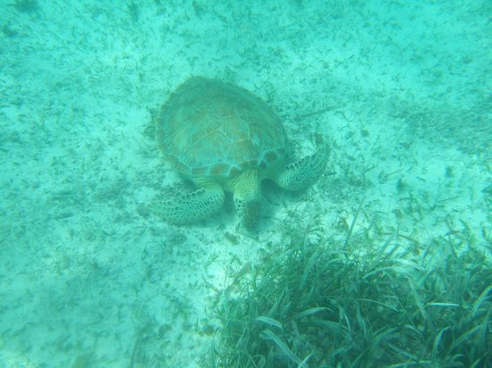 Iguana Reef Inn: Turtle while snorkeling with Raggamuffin tours at Hol-Chan