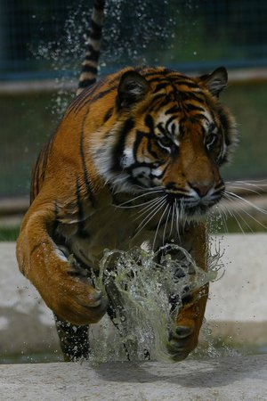 Smarden, UK: Tiger leap from water