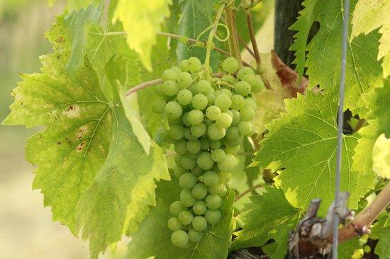 Agriturismo I Casalini: Vignes