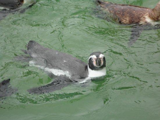 Curraghs Wildlife Park: penguins
