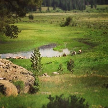 bighorn sheep near the alluvial fan