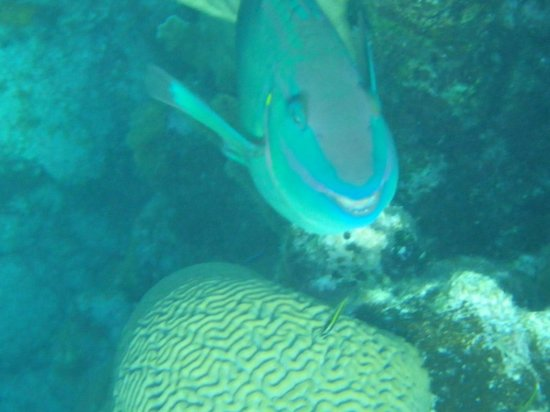 Splash Inn Dive Resort: Parrot fish with a nice smile