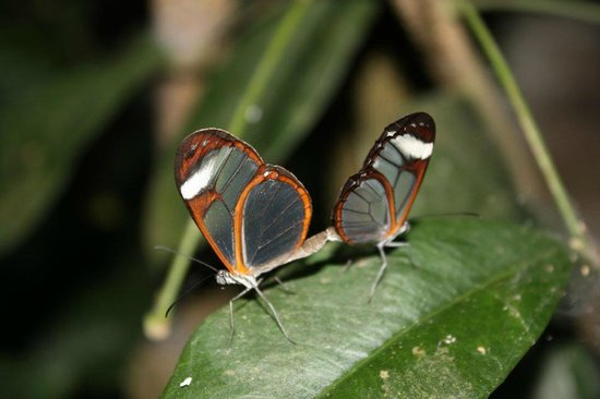Mariposa Jungle Lodge: Mariposas at the butterfly happy hour