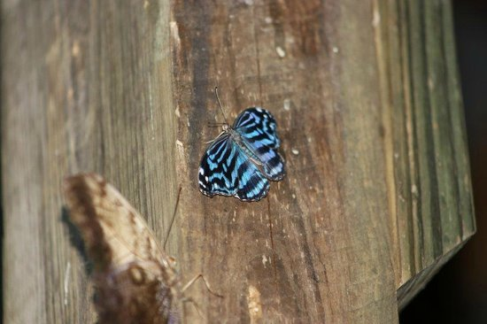 Mariposa Jungle Lodge: Una Mariposa at the butterfly happy hour