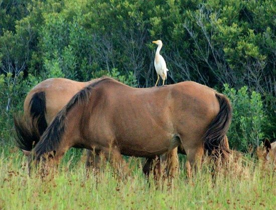 Maryland: Cattle Egret