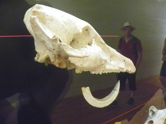 Musée national de la Préhistoire : One of the animal skulls
