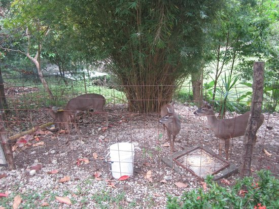 El Sueno Tropical: Deer on the hotel grounds