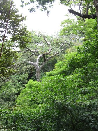 El Sueno Tropical: Guanacaste tree on zip line tour