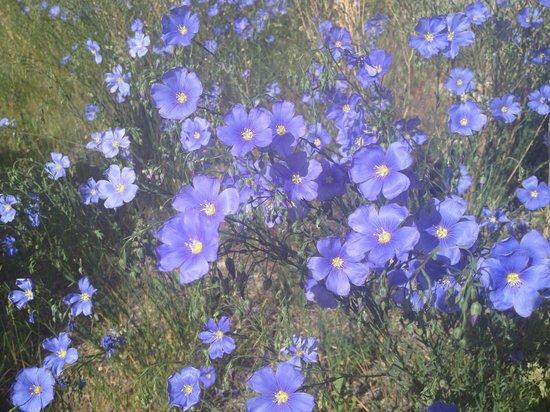 Inn on the Beartooth: Blue Flax greats us each morning!