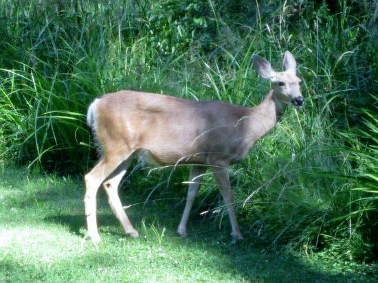 Lake Creek Lodge: Deer visit every day