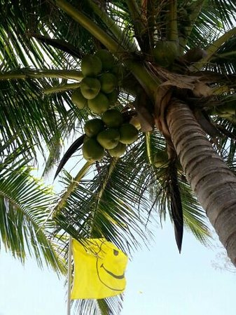 Tail Winds Resort: coconut tree on the beach. you can pick your own coconut and drink fresh natural coconut water o