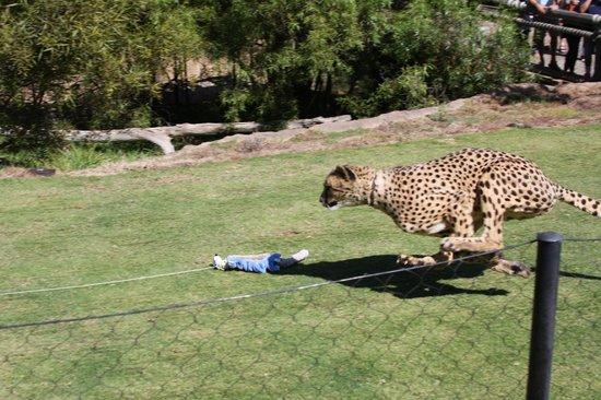 cheetah running san diego zoo model aviation