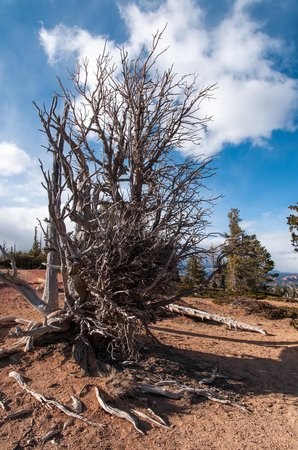 Bristlecone Loop: Barely Alive 1700 Year Old Bristlecone Pine