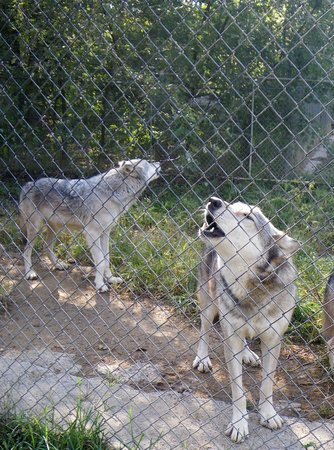 Wolf Sanctuary of PA: Tioga with Merlin howling behind him.