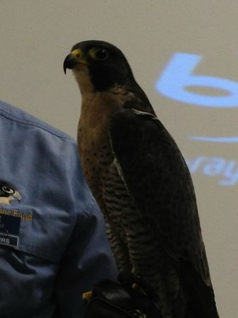 World Center For Birds of Prey: Gus the Peregrine Falcon with Steve the guide - amazing creature
