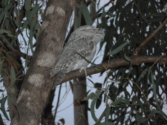 Kimberleyland Waterfront Holiday Park : Tawney frogmouth