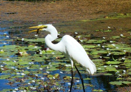 Kimberleyland Waterfront Holiday Park: Egret catching fish at edge of lake