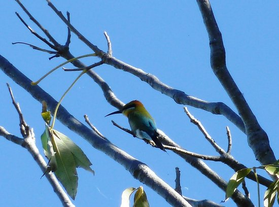 Kimberleyland Holiday Park: Rainbow bee eater in tree next to cabin
