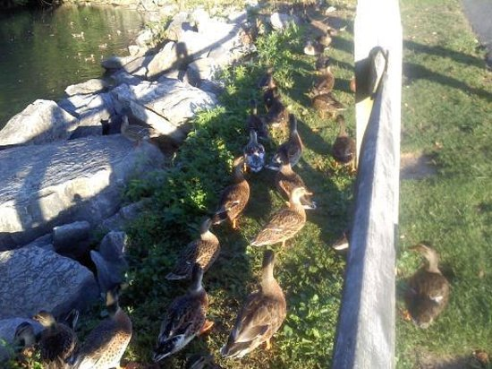 Comfort Inn at the Park: The friendly ducks!