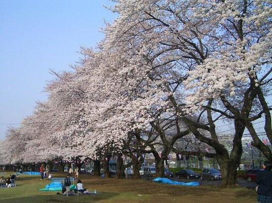 Sayama, Japan: 桜