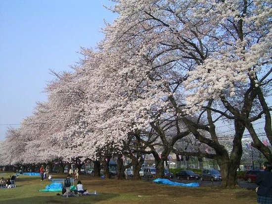 Sayama, اليابان: 桜