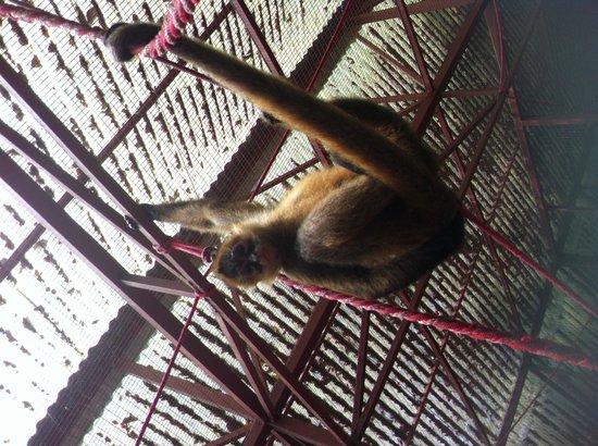 Foundation Jaguar Rescue Center: Spider monkey