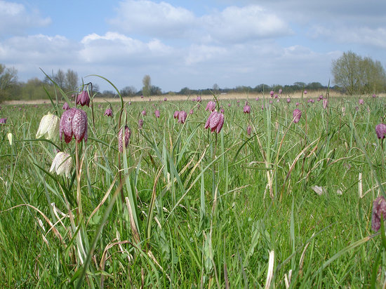 Iffley Meadows