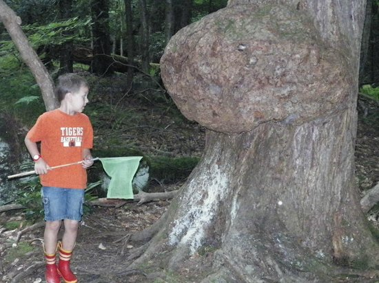 Cook Forest State Park: Nicklas checking out a growth on one of the million trees.