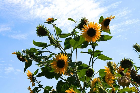 Orchard Hill Farm Bed & Breakfast: Sunflowers in the garden