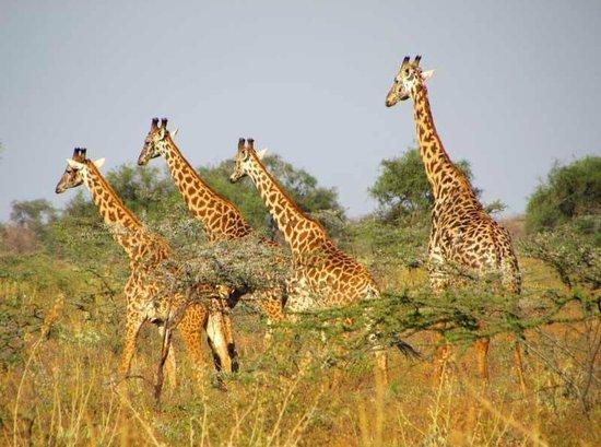 Maasai Simba Camp : seen within walking distance of camp...