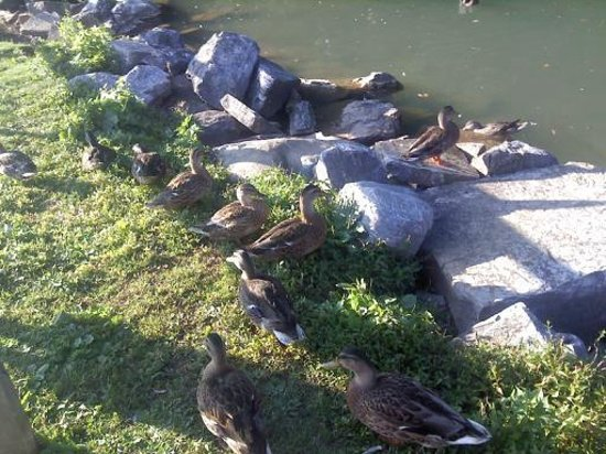 Comfort Inn at the Park: Ducks at the Duck Pond