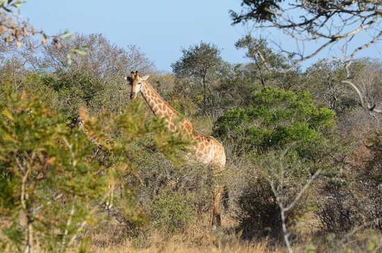 Jock Safari Lodge: giraffa al setaccio