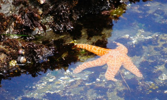 MacKerricher State Park : Starfish!