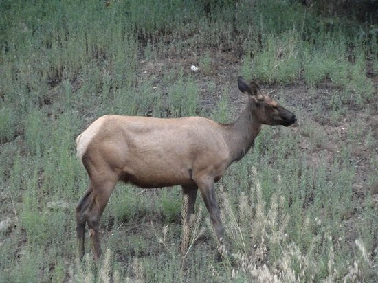 Loveland Heights Cottages: Elk that walked into the yard.