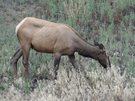 Loveland Heights Cottages: Elk that walked into our yard.