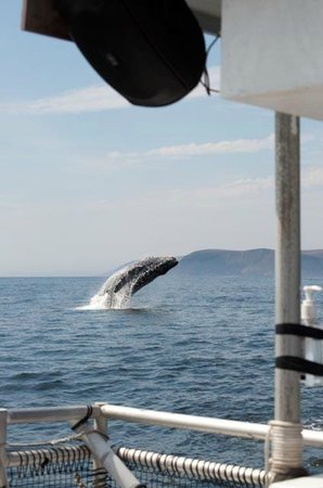 Sub Sea Tours and Kayaks: Breaching humpback whale from Sub Sea Tours trip - July 2013