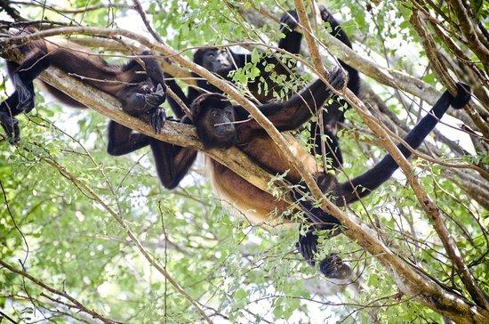 Hotel Cantarana: Howler monkeys in the national park near the hotel, July 2013