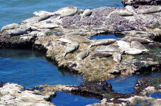 Inn at Otter Crest: resident seals