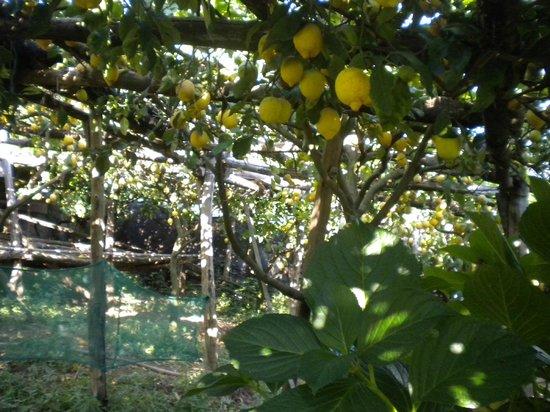 Casale Miramonti : limoneto giardino